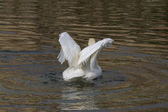 Swan on lake Stock Images