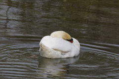Swan on lake Stock Photos