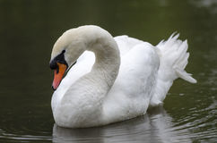 Swan in a Lake Royalty Free Stock Image