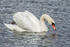Swan in the lake swimming isolated Royalty Free Stock Photos