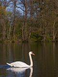 Swan on a lake. A swan swimming on a lake on a sunny day Royalty Free Stock Photo
