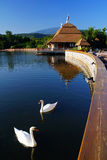 Swan in lake. There are swans in the pool. It is location at ChiangMai, Thailand stock photo