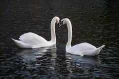 The Swan Lake stock photos