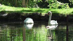 The Swan Lake stock video footage