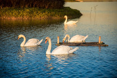 Swan on Lake. Warm lighting Stock Photography