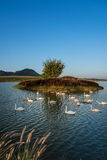 Swan on Lake. Warm lighting Royalty Free Stock Photo