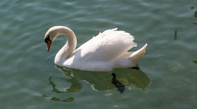 Swan Lake. Swan watches itself from the mirror lake royalty free stock image