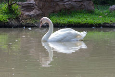 Swan on the lake water in the park, swans on pond Royalty Free Stock Photo