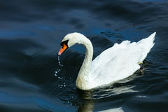 swan lake water summer Stock Images