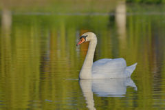 Swan on the lake water Royalty Free Stock Photos