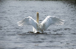 Swan on a lake. Swan on water with wings outstretched Stock Photography