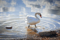Swan in the Lake Weissensee Royalty Free Stock Images