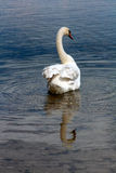 Swan in the lake. White swan in the lake Royalty Free Stock Photo