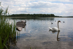 Swan on a lake. White swan on a lake Royalty Free Stock Images