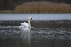 Swan in the lake. White swan floating in the lake Stock Image