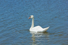Swan in lake Stock Photo