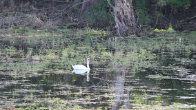 Swan in the lake. White mute swan swimming In the lake stock video