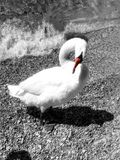 The swan by the lake royalty free stock photography