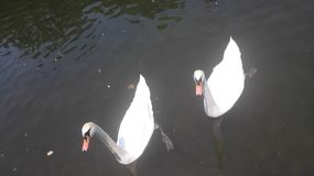 Swan in the lake Stock Photography