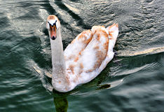 Swan on Lake. White Swan swimming on Lake royalty free stock photo