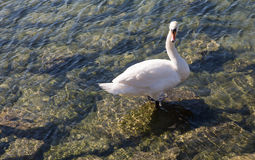 Swan lake. White Swan lake in Switzerland royalty free stock photography