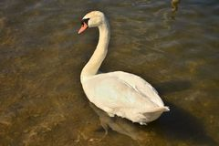 Swan on the lake in the wild nature royalty free stock photo