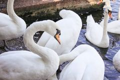 Swan at the lake in WIndsor stock image