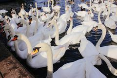 Swan at the lake in WIndsor royalty free stock photography