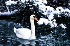 Swan on a lake 2 Royalty Free Stock Photos