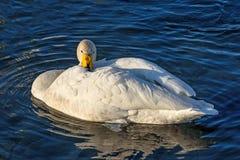 Swan lake winter birds closeup Stock Photography