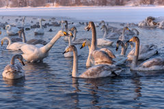 Swan lake winter birds fight Royalty Free Stock Images