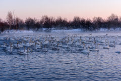 Swan lake winter birds fight Stock Photography