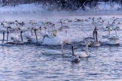 Swan lake winter birds fight Stock Photo