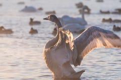 Swan lake winter birds Royalty Free Stock Image