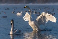 Swan lake winter birds Royalty Free Stock Images