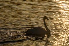 Swan lake winter birds sunset Stock Images