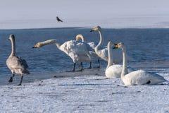 Swan lake winter birds Stock Image