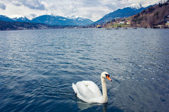 Swan in the lake Royalty Free Stock Image