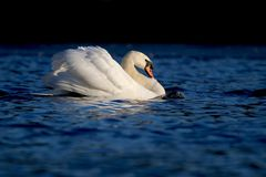The Swan on the Lake in Winter royalty free stock photos