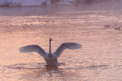 Swan lake winter pink sunset Royalty Free Stock Images