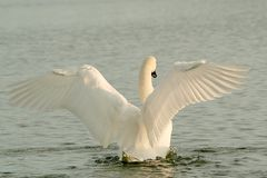 Swan on the lake at winter sunrise Stock Photos