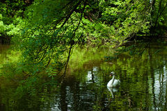 Swan. Lake in the woods with swan Royalty Free Stock Image