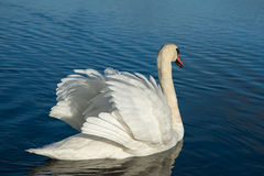 Swan in lake. Royalty Free Stock Photography