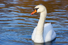 Swan in the lake. Young swan swims in the lake in side light Royalty Free Stock Photos