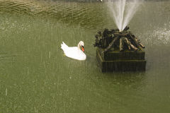A swan in the lake. Young white swan floating near the fountain Stock Images