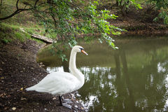 Swan on a lakeshore Stock Image