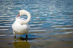 Swan on the lakeshore Royalty Free Stock Photos