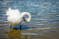 Swan on the lakeshore Stock Images