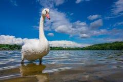 Swan on the lakeshore Stock Photos