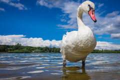 Swan on the lakeshore Royalty Free Stock Image